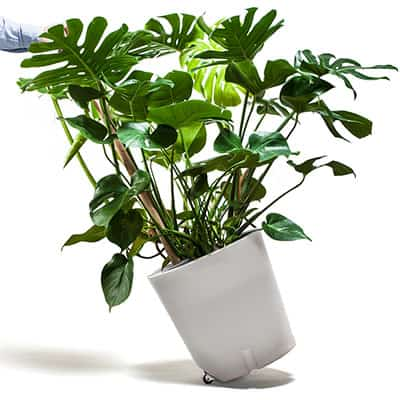 flower bucket with Monstera on wheels