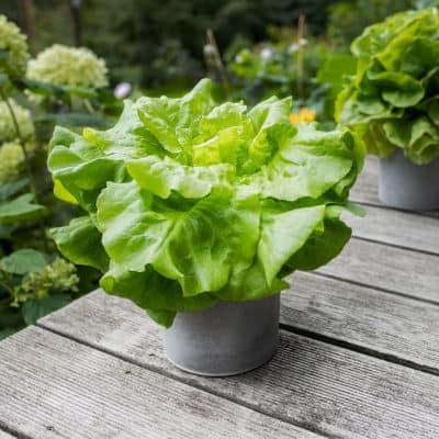 Übertöpfe aus Beton mit Blattsalat