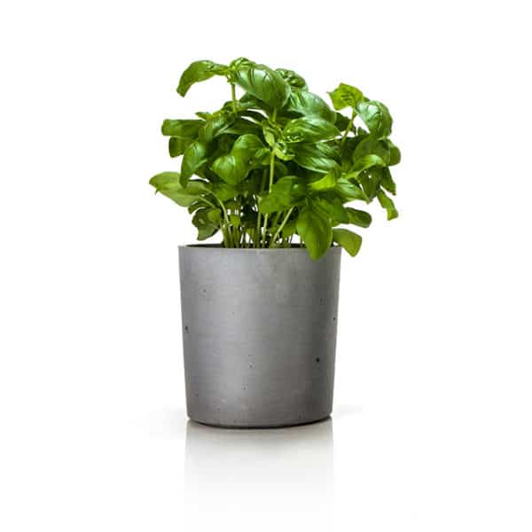 concrete flower pot with herbs